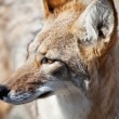 Coyote in desert — Stock Photo