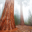 Giant sequoya — Stock Photo