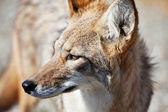 Coyote in desert — Stock Photo