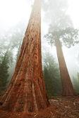 Seqouya 森林在雾中 — 图库照片