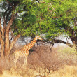 Giraffe in Etosha Park — Stock Photo