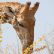 Giraffe in savannah — Stock Photo