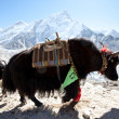 Stock Photo: Yak in Himalaya