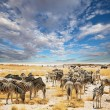 Zebras in Etosha — Stock Photo