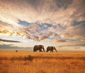 Elephants at dawn — Stock Photo