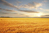 Field on sunset — Foto Stock