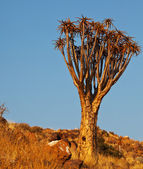 Quiver tree in Namibia — Stock fotografie