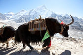 Yak in Himalaya — Stock Photo