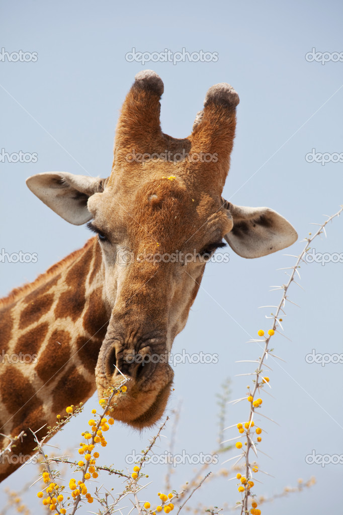 Giraffe in savannah  Stock Photo #4612168