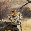 Stock Photo: Leopard in bush