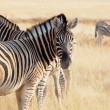 Stock Photo: Zebra in Etosha