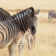 Zebrin Etosha — Stock Photo #4649932