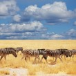 Zebras — Stock Photo #4649934
