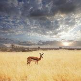 Gazelle Thompsons — Stock Photo