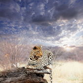 Leopard in bush — Stock Photo
