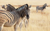 Zebra in Etosha — Photo