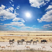 зебры в этоша — Стоковое фото