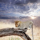 Leopard in bush — Stockfoto