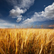 Wheat field in summer season — Stock Photo