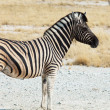 Stock Photo: Zebrin Etosha
