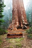 árvore de concessão geral de seqoia — Foto Stock
