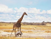 Giraffe in savannah — Stockfoto