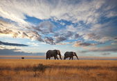 Elephants in savannah — Стоковое фото