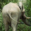 Stock Photo: Elephant in savannah