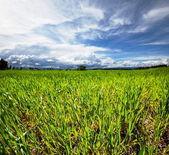 Yeşil çayır — Stok fotoğraf