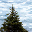 Pine on ice background — Stock Photo