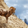 Goat on rock - Stock Photo