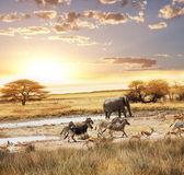 Safari 在纳米比亚 — 图库照片
