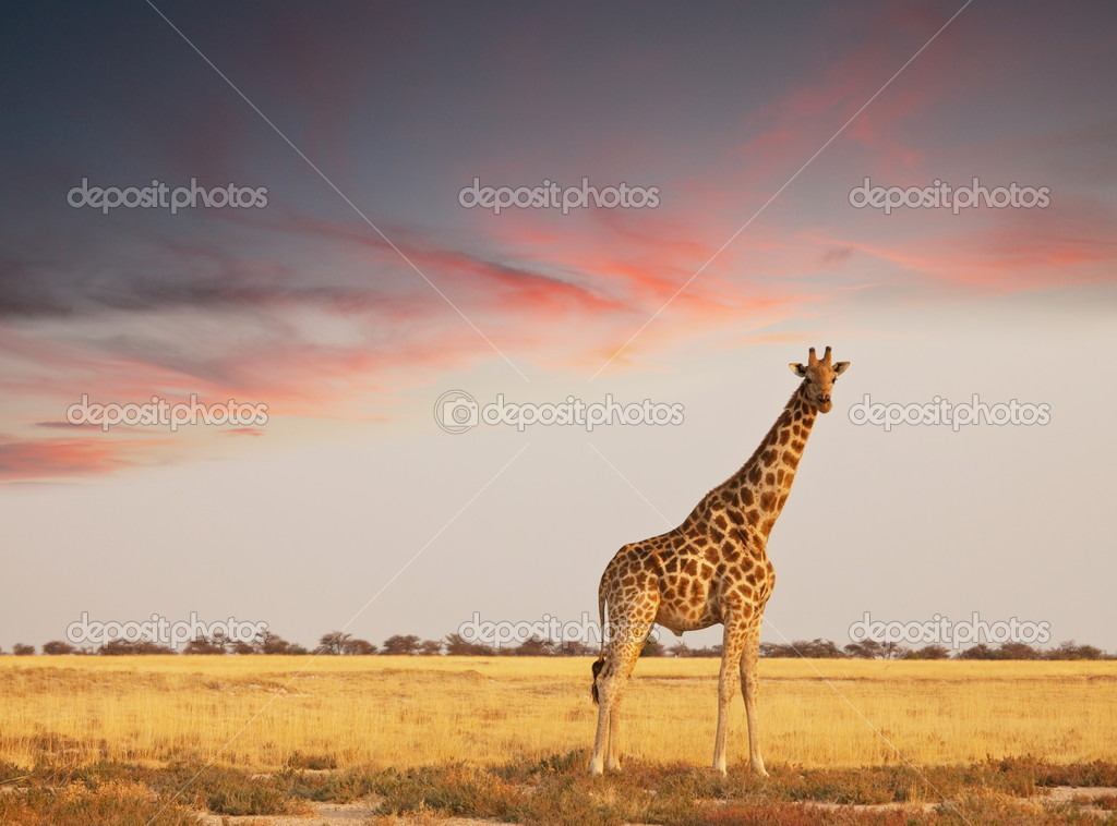 Giraffe in savannah — Stock Photo #5298152