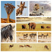 Safari collage — Stock Photo