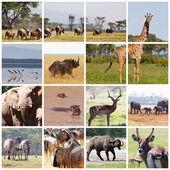 Safari collage — Stock Photo