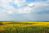 żółte pola — Zdjęcie stockowe