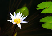 Dragonfly Lotus — Stock Photo