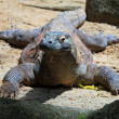 Basking Komodo — Stock Photo