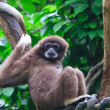 Gibbon — Stock Photo #5202274