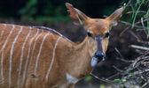 Nyala Doe — Stock Photo
