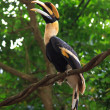 Royalty-Free Stock Photo: Hornbill