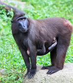 Cresed Macaque — Stock Photo