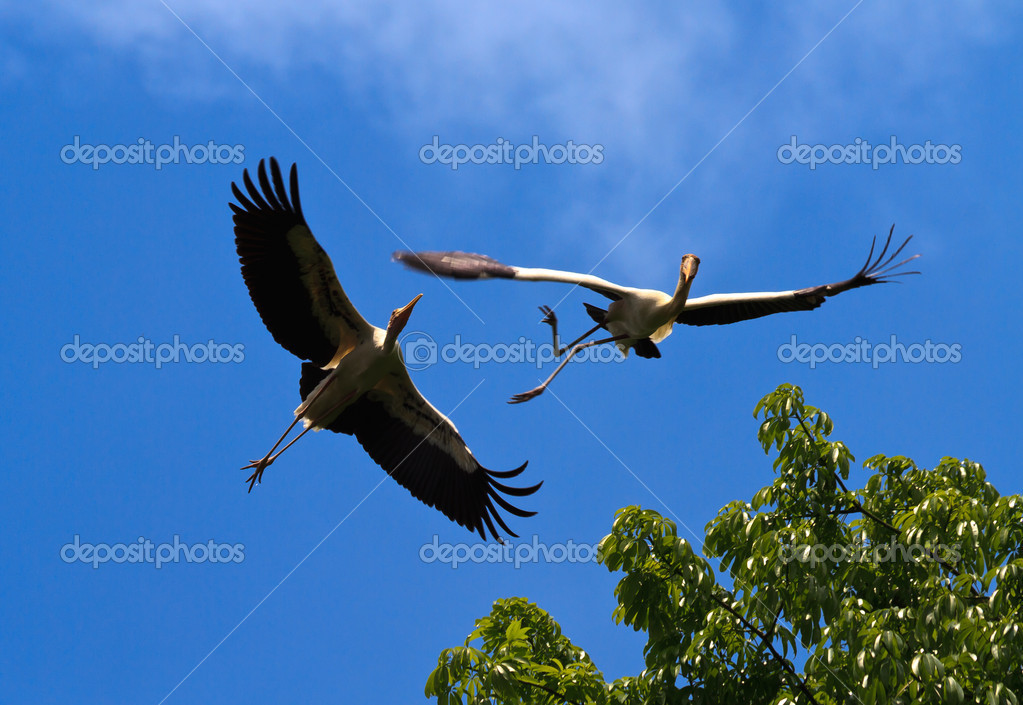 A pair of painted storks horsing around in flight and almost have an accident — Stock Photo #5214990
