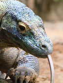 Colorful Komodo — Stock Photo