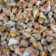 Sea snails — Stock Photo