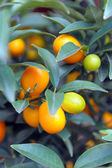 Perfect kumquat fruit on tree — Stock Photo