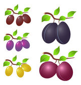 Plum and leaves — Stock Vector