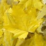 gula höstlöv — Stockfoto