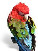 Mooi helder gekleurde Ara papegaai slapen op een drager — Stockfoto