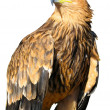 Stock Photo: Young brown eagle sitting on support isolated over white